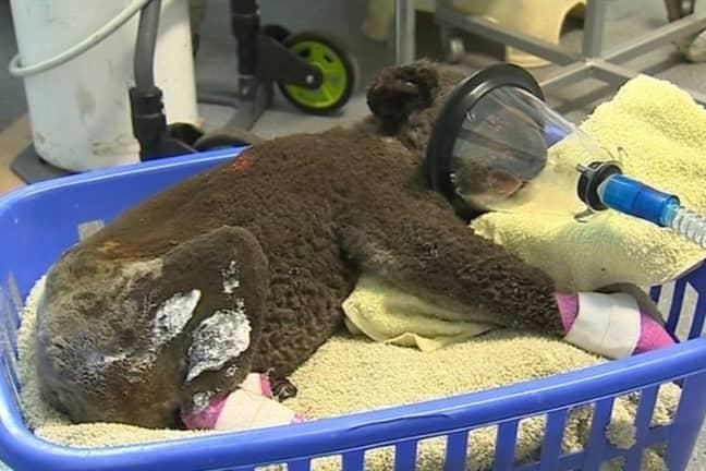 One of the koalas being treated. Credit: Gofundme/Port Macquarie Koala Hospital