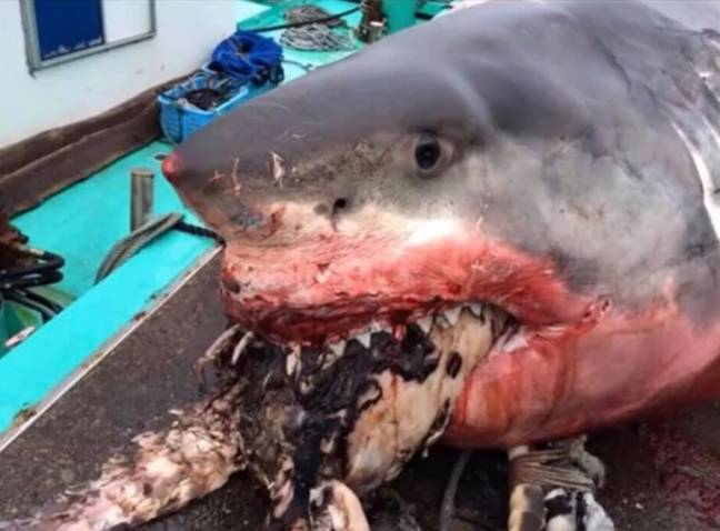 The shark had choked on a sea turtle. Credit: Greg Vella/Facebook
