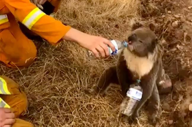 A koala being given water by a firefighter last month. Credit: PA