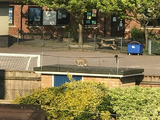 The wildcat was spotted by a resident who lives in the area. Credit: BPM Media