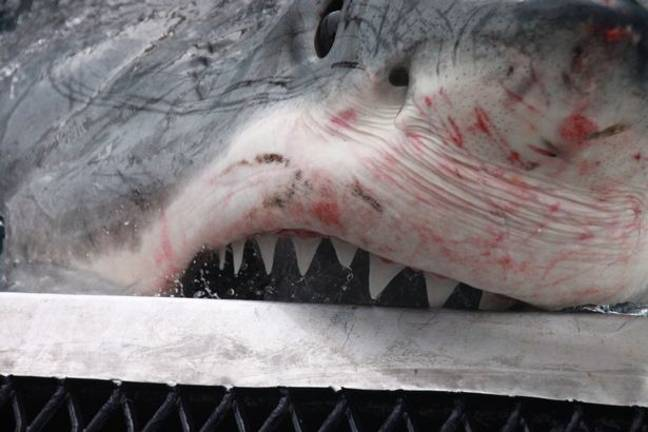 The Great White has a fair few scratches on its fearsome face. Credit: Media Drum World