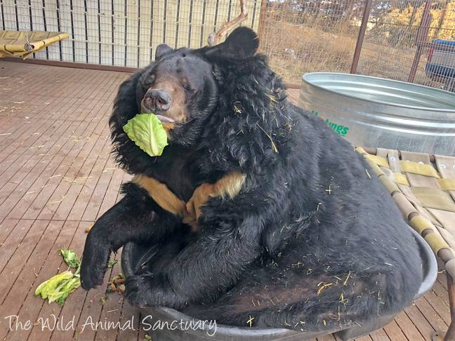 Dillan looking less than thrilled with his lettuce. Credit: The Wild Animal Sanctuary