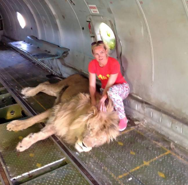 This is a tourist who posed with a lion before she was mauled. Credit: CEN