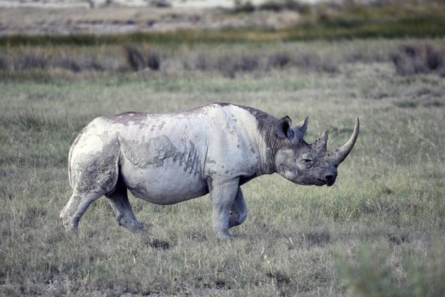 A critically endangered black rhinocerous at Etosha National Park in Namibia. Credit: PA