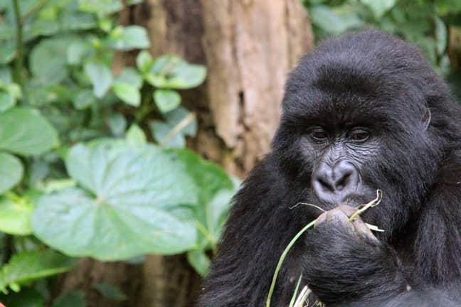A mountain gorilla in Virunga National Park. Credit: PA