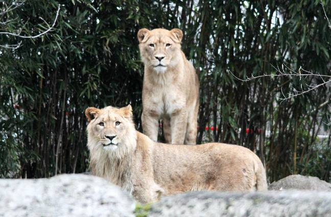 Kigali and her mate Majo. Credit: Leipzig Zoo/Facebook