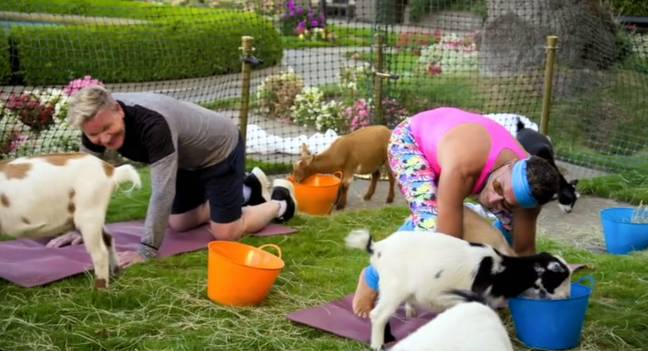 Gino gets in some questionable positions with some goats. Credit: ITV