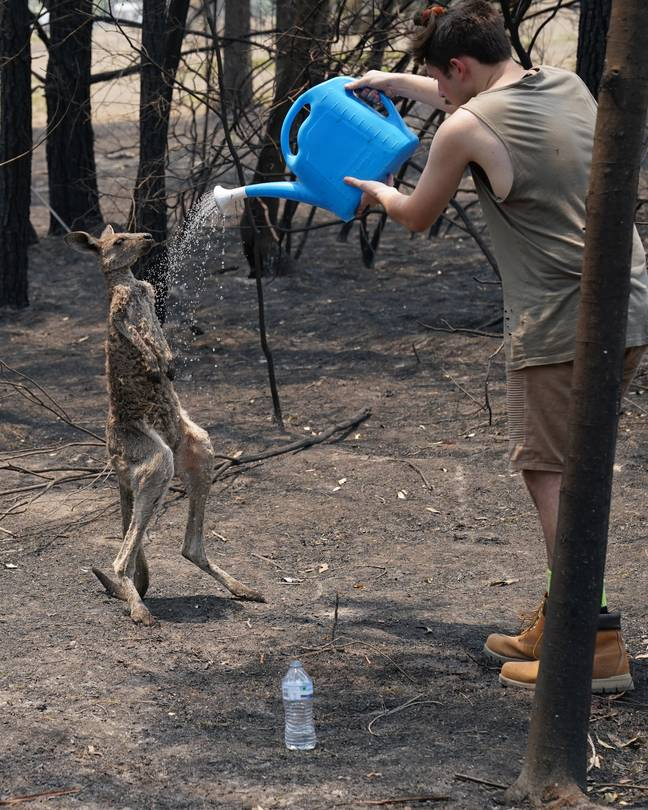 The kangaroo is one of the countless animals harmed by the fires. Credit: © Matrix for Daily Mail Australia