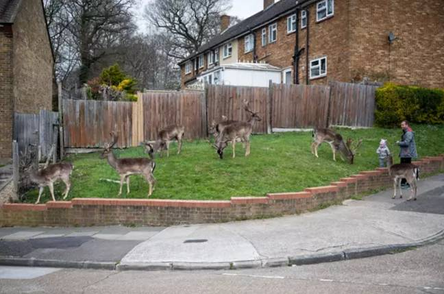 Deer taking over an empty neighbourhood in east London recently. Credit: SWNS