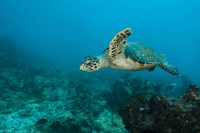 A luxury resort is offering someone the chance to look after their turtles. Credit: PA
