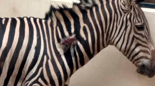 Karo the zebra. Credit: CEN