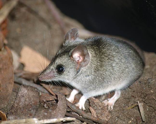 There are fears that the 300-strong population of dunnarts on Kangaroo Island has been wiped out. Credit: Threatened Species Recovery Hub