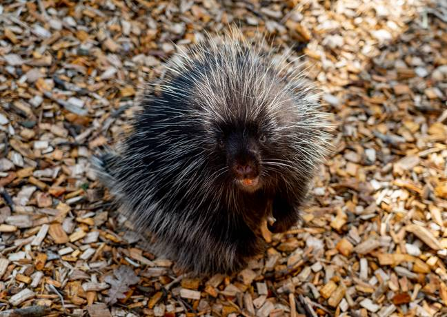 The officers admitted to killing 11 porcupines (stock image). Credit: PA
