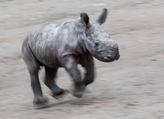 A baby rhino in Dortmund Zoo, Germany. Credit: PA