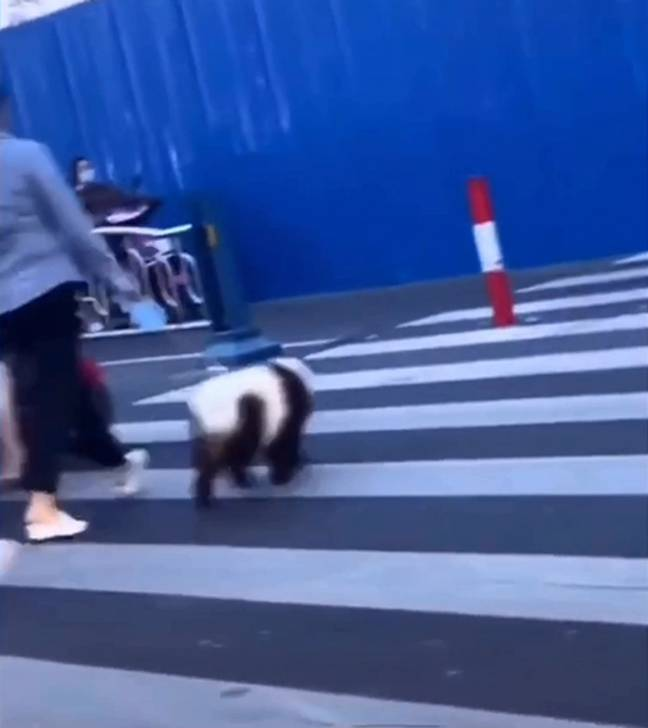 People were outraged by what they thought was a panda on a leash. Credit: Newsflare