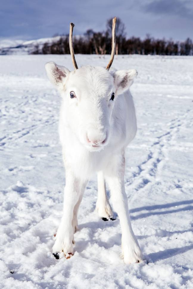 The cute baby reindeer was out with its mum. Credit: Caters/Mads Norsvdeen