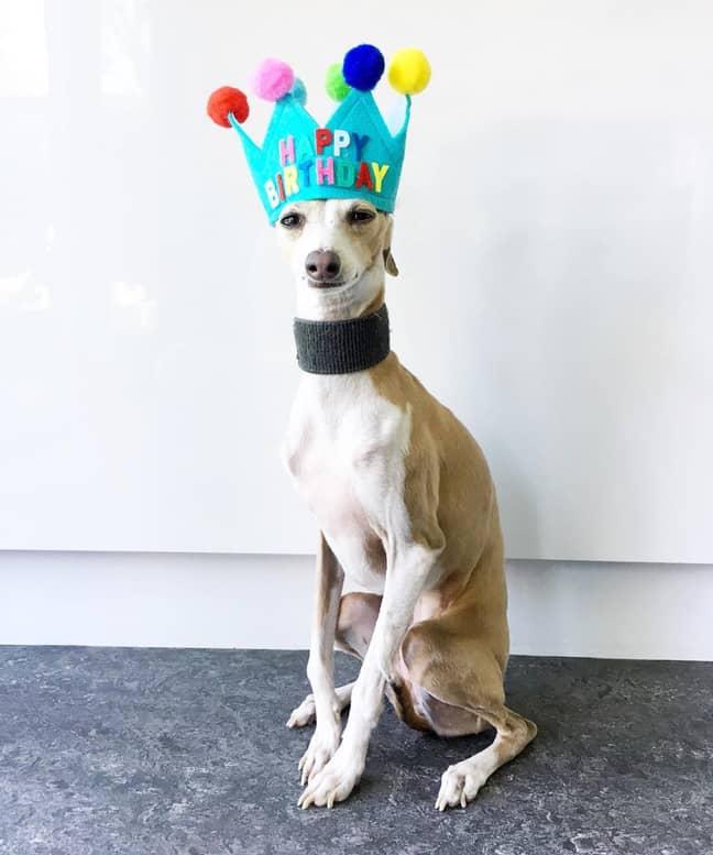 Credit: Margaret the Italian Greyhound/Instagram