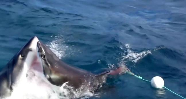 The two sharks attack each other. Credit: SWNS