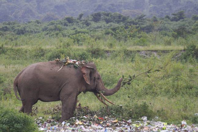 The elephant could be seen 'snacking on plastic'. Credit: Caters