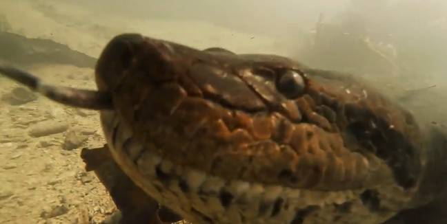 The diver got incredibly close up to the giant anaconda. Credit: Newsflare