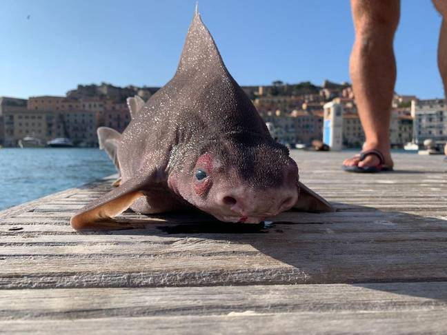 It's sometimes called the pig-faced shark because of that snout. Credit: Newsflash