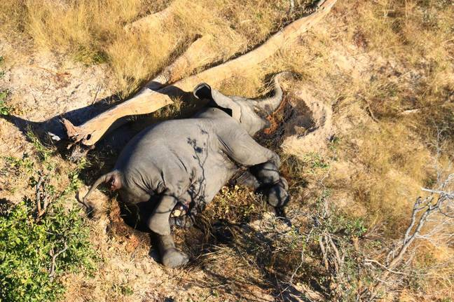 Hundreds of dead elephants were found in Botswana. Credit: Shutterstock