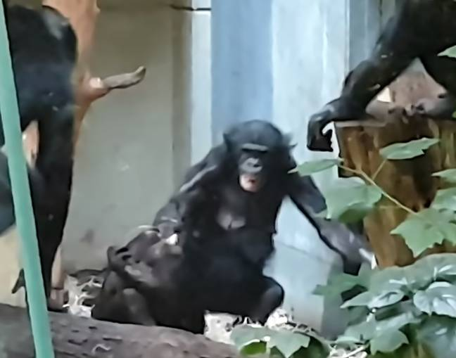 Bili had previously been targeted by other chimps at the zoo. Credit: CEN