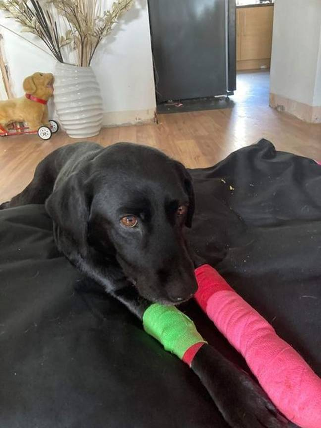 Sasha needs surgery to fix her legs. Credit: Cornwall Live