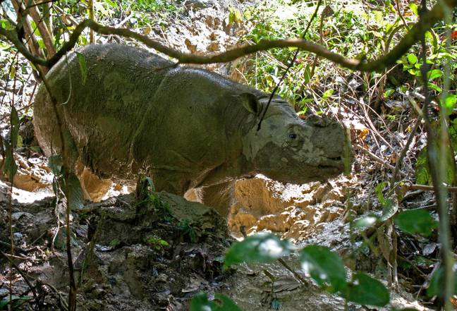 A Sumatran rhinoceros stands in the rhinocerous protection station Tabin in the jungle of Borneo near Lahad Datu, Malaysia, 29 October 2013. Credit: PA