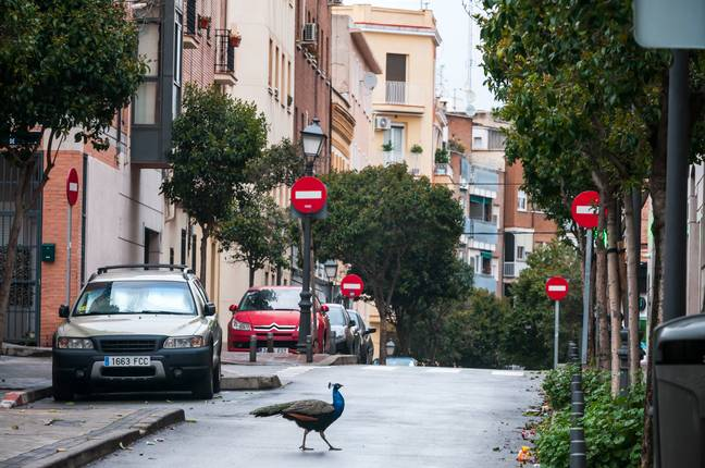 Peacocks have also been taking over other cities, like these ones in Madrid. Credit: PA