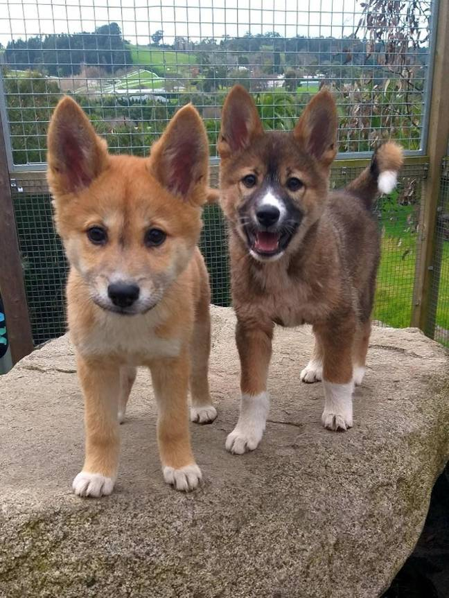 Sooty joins Sassy at the Australian Dingo Foundation. Credit: Madi McKenzie/Australian Dingo Foundation