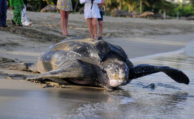 Leatherback sea turtles can grow to more than two metres in length. Credit: PA