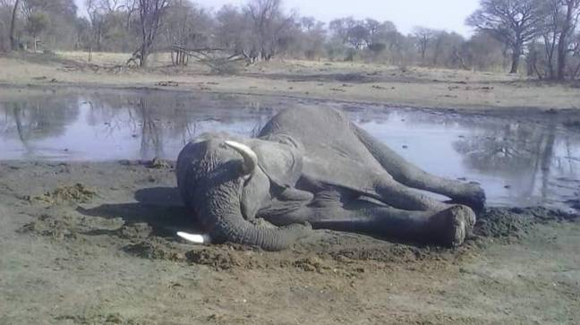 Research and advocacy organisation CNRG shared this image of a bull elephant that was found dead. Credit: CNRG Zim