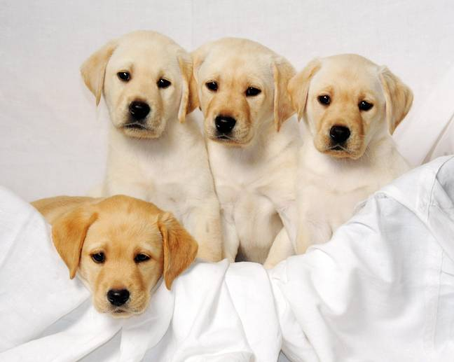 Labradors are one of the most popular dogs in the UK. Credit: PA