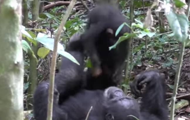 Credit: Tai Chimpanzee Project