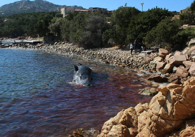Experts say she had swallowed so much plastic she was unable to digest any food. Credit: SEAME Sardinia