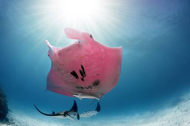 Inspector Clouseau is the only known pink manta ray in the world. Credit: Magnus News Agency