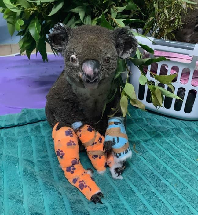 Credit: Facebook/Koala Hospital Port Macquarie