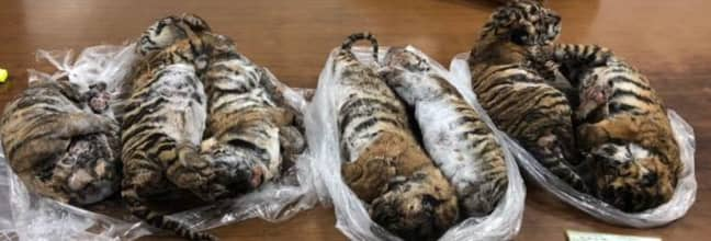 The frozen tiger carcasses were found in a Hanoi parking lot. Credit: Getty
