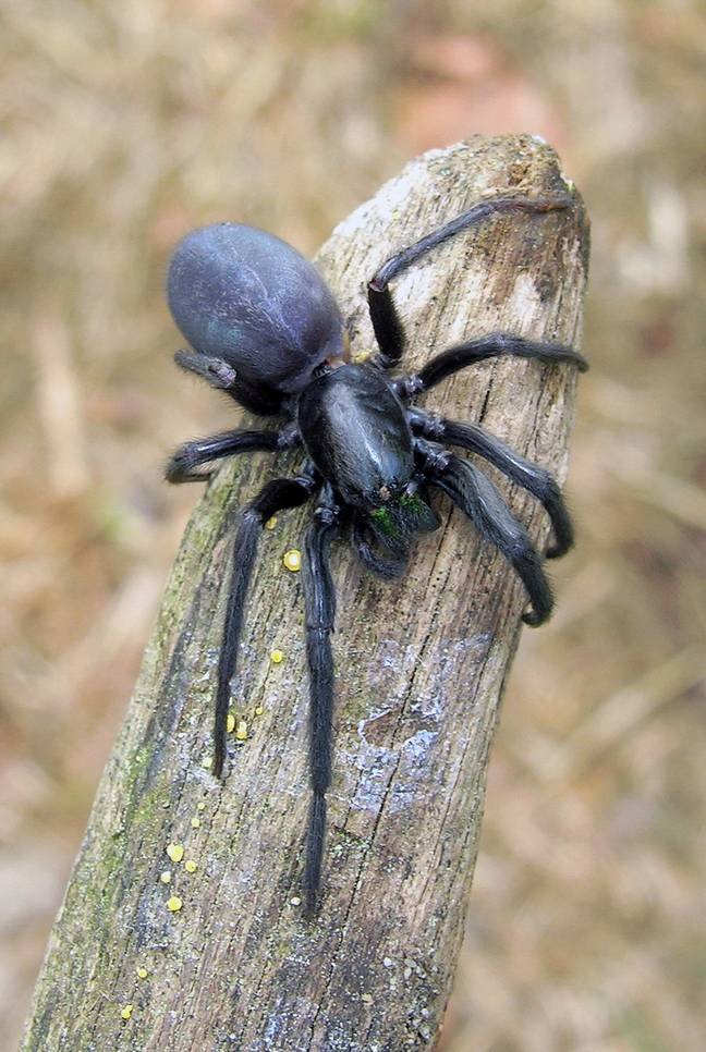 The terrifying 'Dracula' spider. Credit: Luis Miguel Bugallo Sánchez