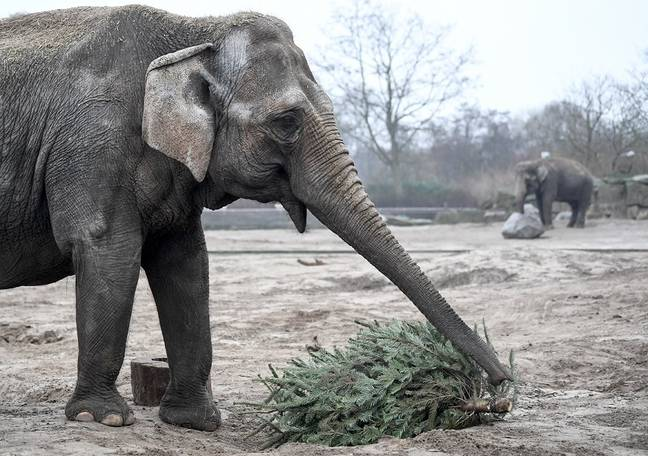 A British Asian elephant. Credit: PA