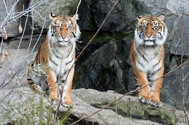 Stock image of two Sumatran tigers. Credit: PA