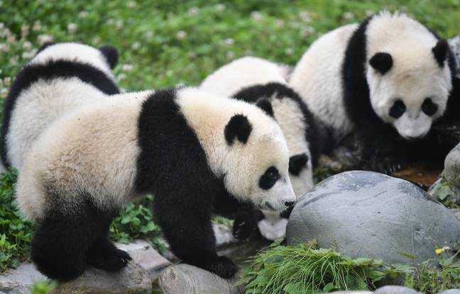 Some of the other pandas in Wolong Nature Reserve. Credit: CNN