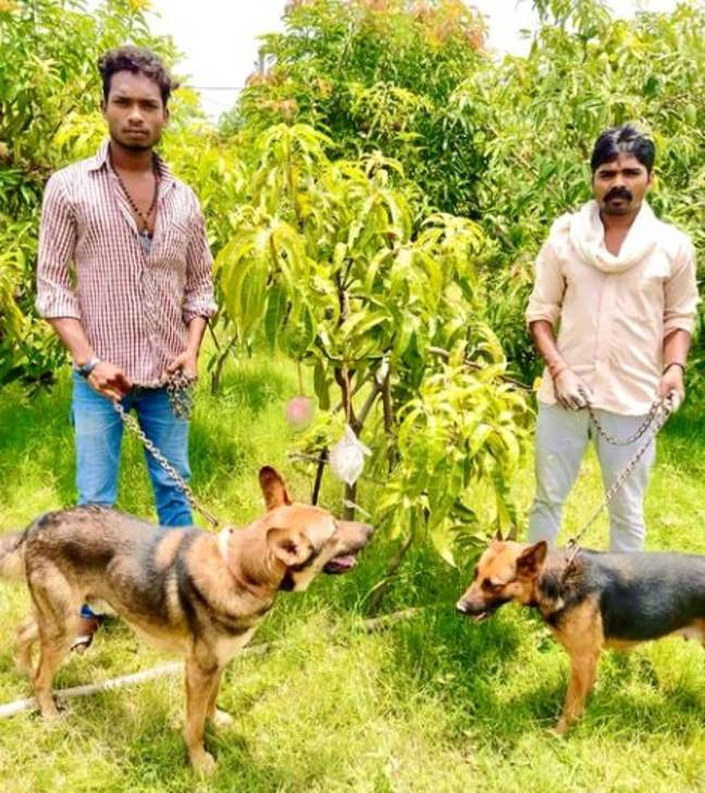They have hired a special security team to protect the mangoes. Credit: Sankalp Singh Parihar