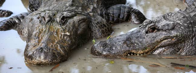 Stock image of two alligators. Credit: PA