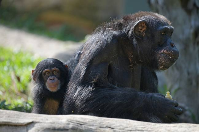 Chimpanzee meat is being smuggled into the UK. Credit: PA