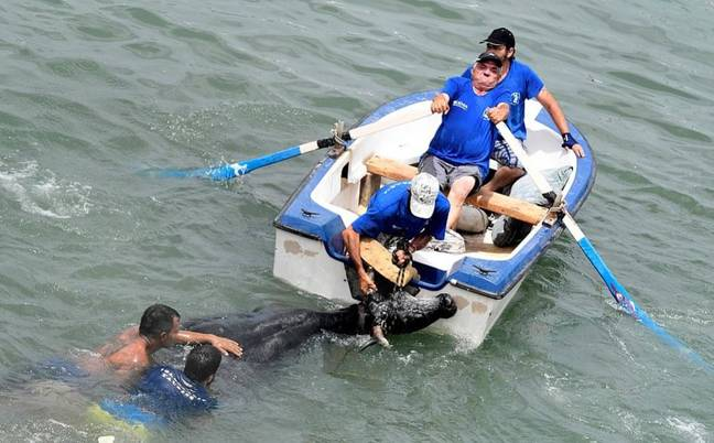The group operation to tie the bull to a rowing boat. Credit: Getty