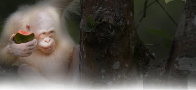 Credit: Borneo Orangutan Survival Foundation