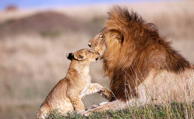 The dad and cub played together joyfully. Credit: Caters