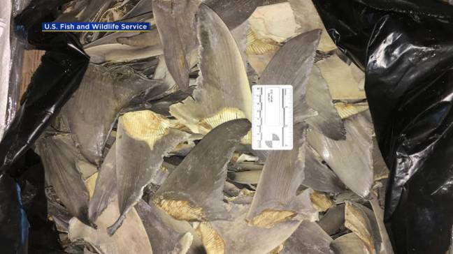 The demand for shark fin soup is endangering the species. Credit: US Fish and Wildlife Service